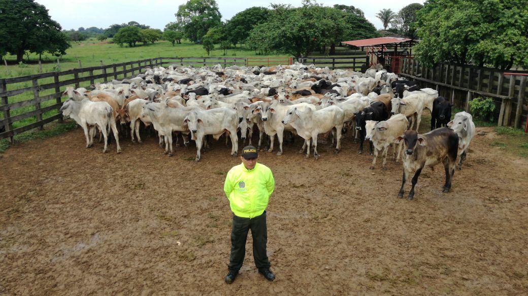 Recuperan ganado hurtado en Hato Corozal que vale $ 193 millones