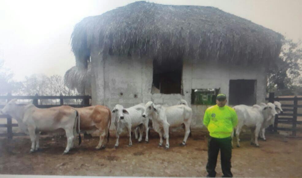 Recuperan ganado  robado en Maní
