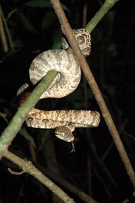 Policía halla una serpiente Macabrel en Yopal