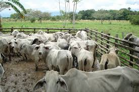 Incautan en Monterrey ganado y en Yopal y Nunchia carne sin permisos para venta