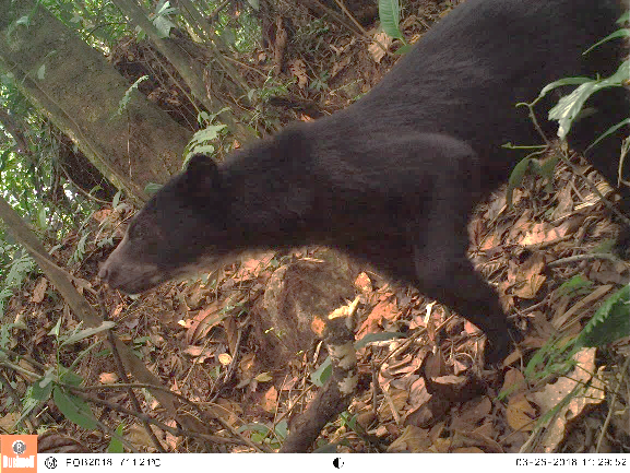 Luto en  medio ambiente de la Orinoquia por muerte  de  ejemplar macho de oso andino a manos de un cazador