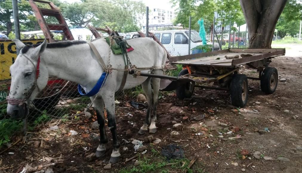 Cambiarán vehículos de tracción animal en Yopal